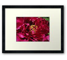 chinese tree peony 1 Framed Print