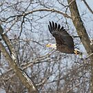 Adult American Bald Eagle  by Thomas Young