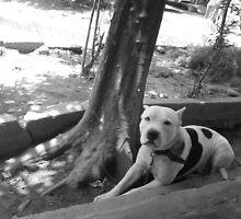 pitbull by Chapin