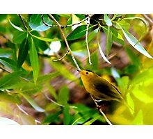 Wilson's Warbler - Splash of Color Photographic Print