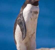 Proud Rockhopper by Simon Coates