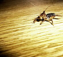 Jerusalem Cricket by matkapalo