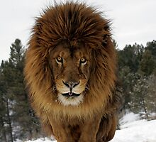 Lion by mrshutterbug