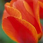 Tulip 1 by Andrew Maisel
