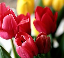 Springtime Tulips by ANJacobsen