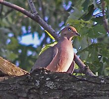 morning dove by marianne troia