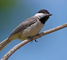 Carolina Chickadee on Summer's Day by Bonnie T.  Barry