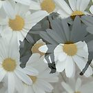 amid the daisies ... by SNAPPYDAVE