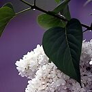 White Lilac by Kat Miller
