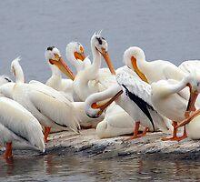 Preening Pelicans by Bill Morgenstern