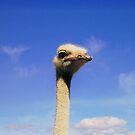 Ostrich Head  by HelenBanham