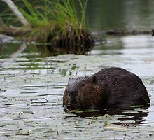 Beaver by Molly  Kinsey