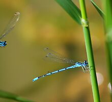 Sneaking up ! (Blue Damsel) by jdmphotography