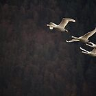 Swan Quartet by Tracy Friesen