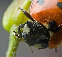 Coccinelle II by Remus
