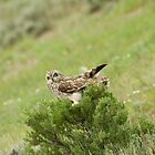 Short Eared Owl by Keith McHugh