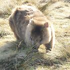 wombat at Ronny's Creek, near Cradle Mt, Tasmania by gaylene