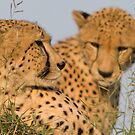 Cheetah brothers basking in the sun by Yves Roumazeilles