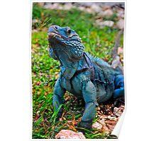 Grand Cayman Blue Iguana [ Cyclura lewisi ] Poster