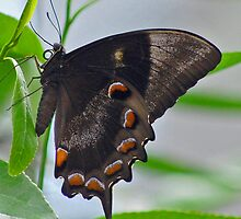 Butterfly in Brown by Donna Hutchins