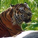 TigerBoy RIP by Kirsten H
