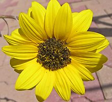 Baby Sunflower by Catherine Beldon