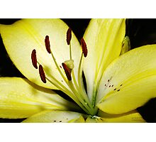 Yellow Lily Photographic Print