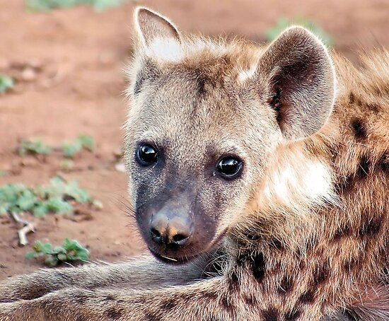 SPOTTED HYAENA by Magaret Meintjes