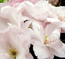 Cherry Blossom #2 by Lee Kerr