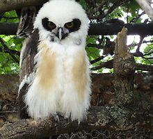baby owl by edward dijmarescu