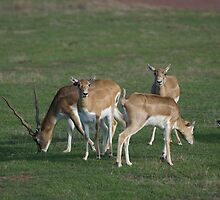 Antelopes at Werribee Open Range Zoo by Roy Thompson