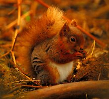 Red Squirrel - Brownsea Island by delros
