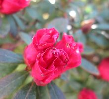 Rhododendron 1 by Furiarossa