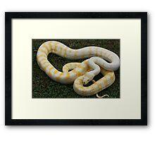 Darwin Python - Albino Framed Print