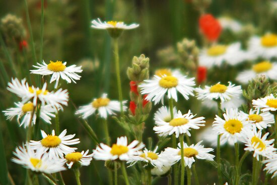 Cutleaf Daisies - Wildflowers by Ryan Houston