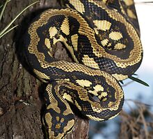Palmerston Jungle Carpet Python by Steve Bullock