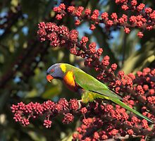 Rainbow Lorikeet by Blue Gum Pictures