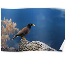 the beauty of myna Poster