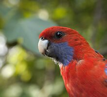 Crimson Rosella by Blue Gum Pictures