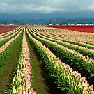 Fields of Tulips by Merilyn