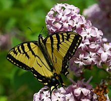Western Tiger Swallowtail by Edith Kangas