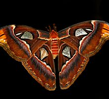 Atlas Moth on Black by Bonnie T.  Barry