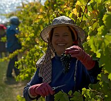 Picking grapes at  Longboard Winery, Surfcoast, Australia. by Andy Berry