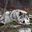 Do not disturb this wolf... by Poete100