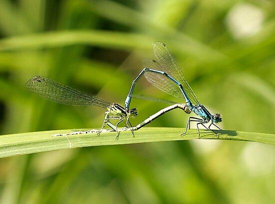Mating Damselflies by Tawny