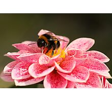 Dahlia & Bee Photographic Print
