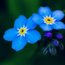 forget-me-not macro by jpghouse