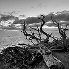 Dead Tree Lord Howe Island by Geoffrey Chang