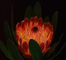 Glowing Protea by KeepsakesPhotography Michael Rowley