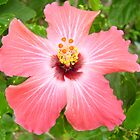 Caribbean Hibiscus by DNVR